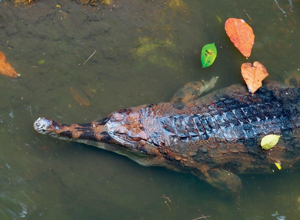 tự nhiên cá sấu xiêm nước ngọt