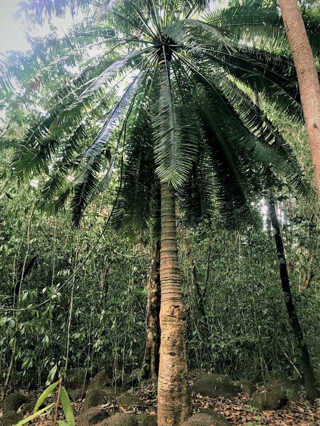 tự nhiên cây Thiên Tuế 700 năm tuổi