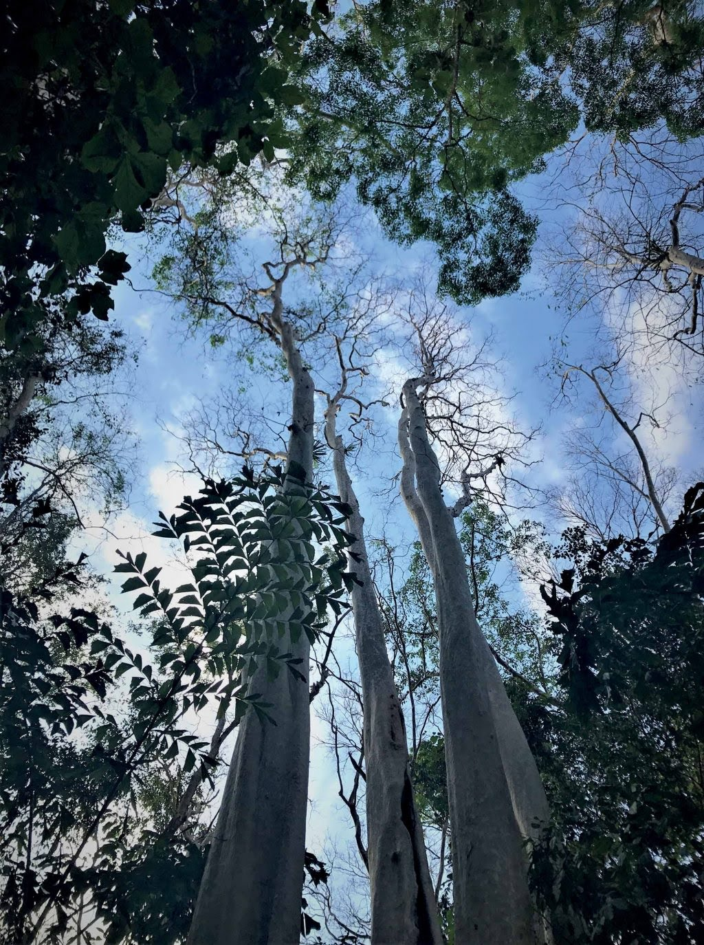 tự nhiên cây bằng lăng cổ thụ