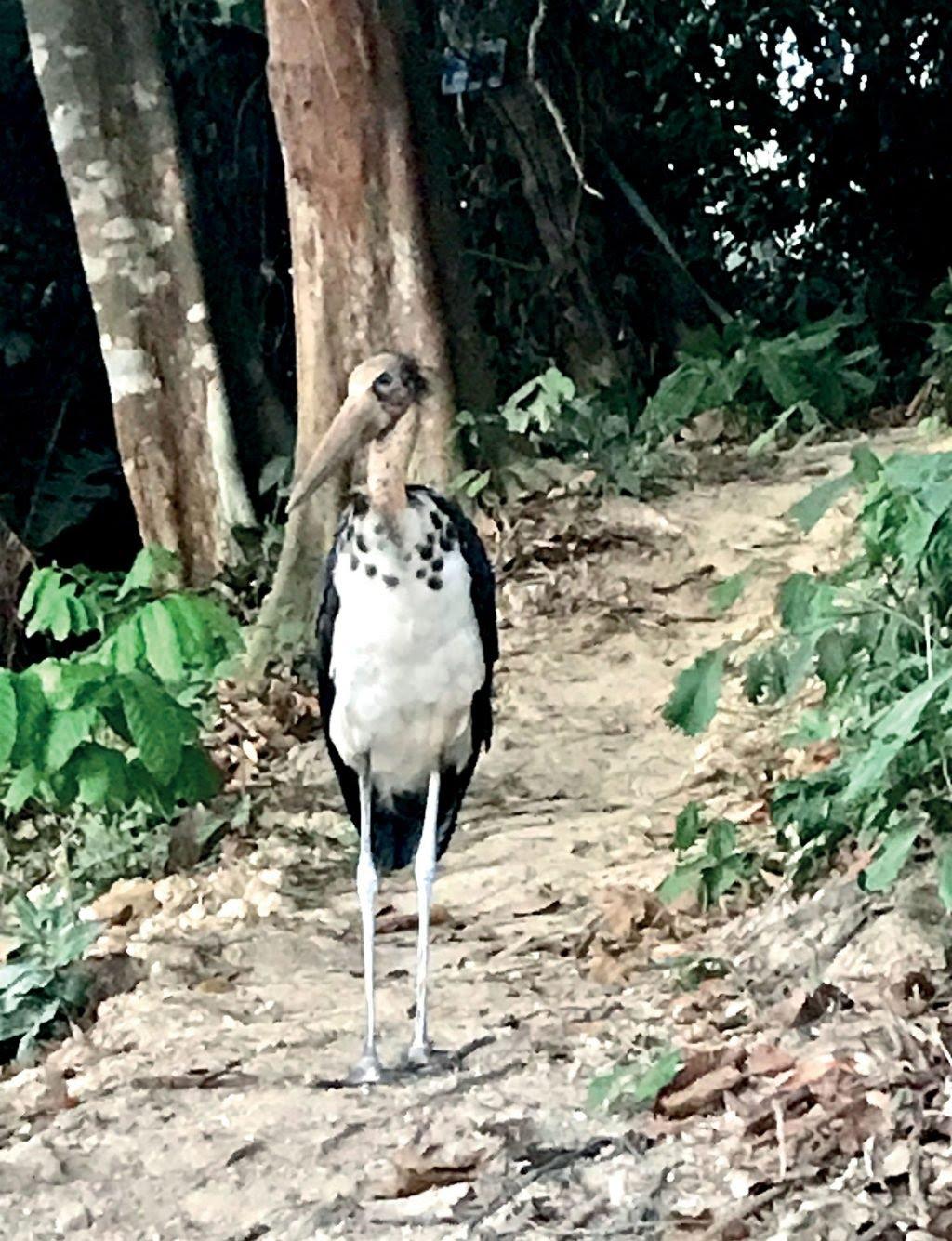 tự nhiên chim già đẫy Java